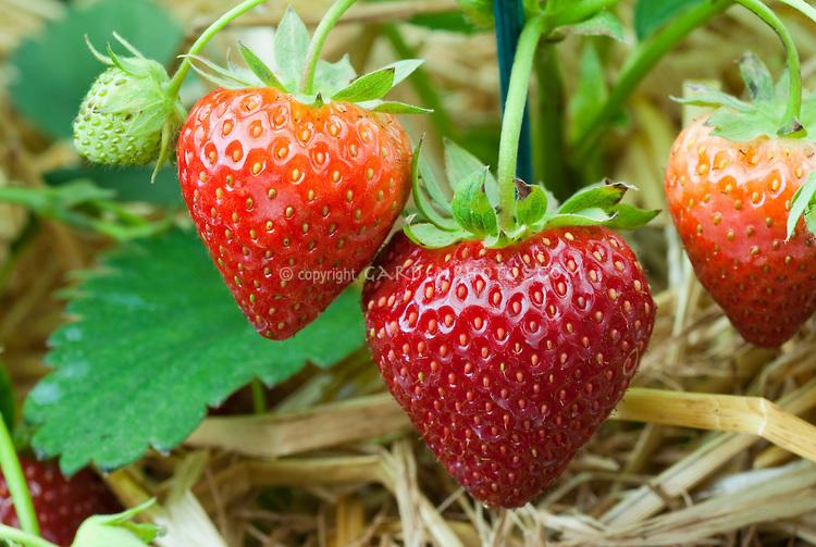 Unripe Strawberries Strawberry 'E...